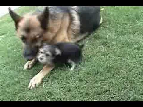 A German Shepherd Dog And Yorkie Mix Puppy Youtube