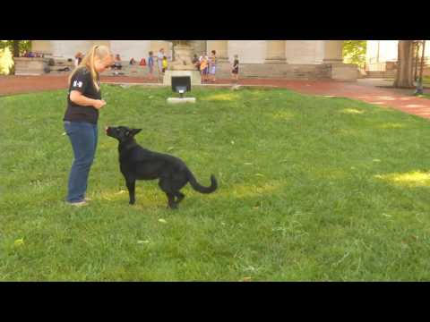 Adelaide 14 Mo's Black German Shepherd For Sale Protection Dog Sales