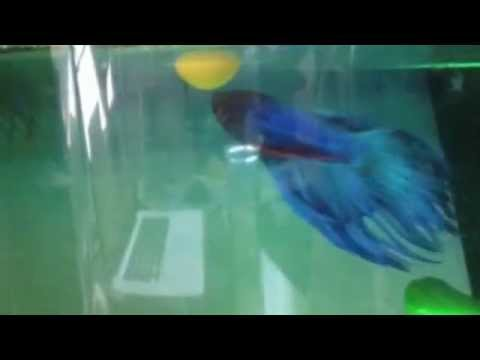 Betta Fish Playing with Ball