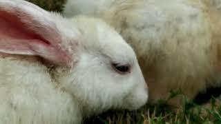 ANIMALS MATING RABBITS ||RABBITS KI DUNIYA { 32 }