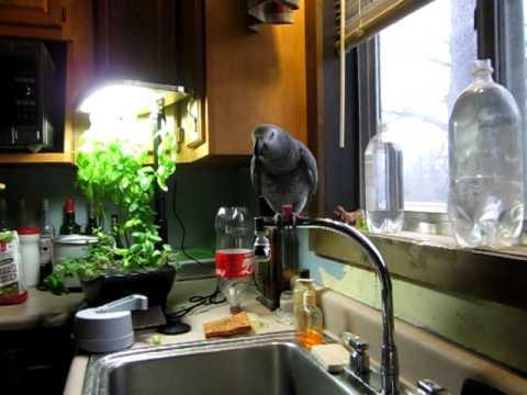The Unsinkable Bibi – African Grey parrot