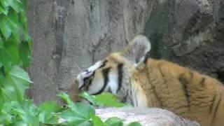 円山動物園のアムールトラ、タツオ(オス)とアイ(メス)。 タツオが水浴び...
