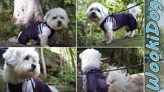 The BEST Breathtaking Dog Forest Video  WookiDog (Full Grown Malshi) 4K Dog Walking Video