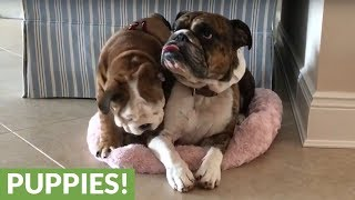 Bulldog puppy steals bed from napping adult