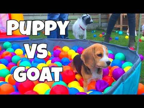 Cute Beagle Puppy Vs Baby Goat : Funny Beagle Party