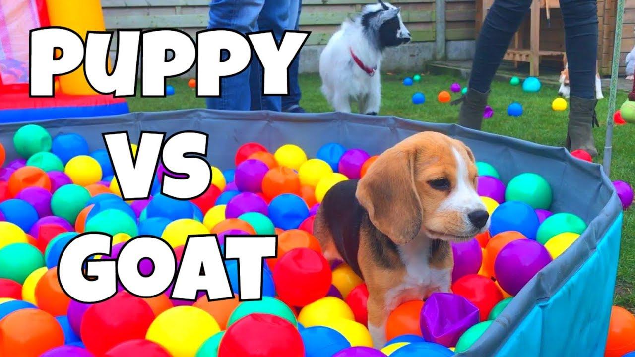 Wonderful Toy Beagle Adorable Dog - maxresdefault  HD_13751  .jpg