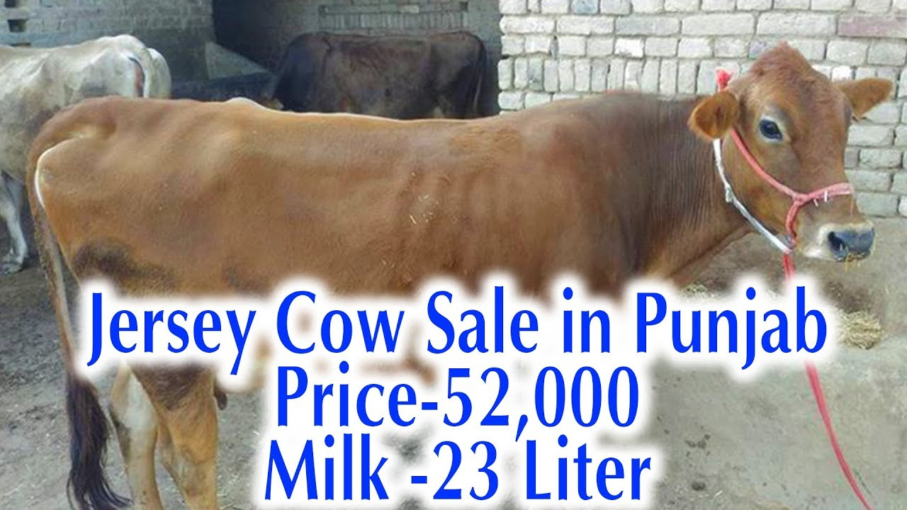 Cow for Sale|Jersey Cow for sale in punjab price 52,000 Contact 9413516829