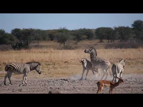 P5240341   Zebras op de vuist, Khama Rhino Sanctuary
