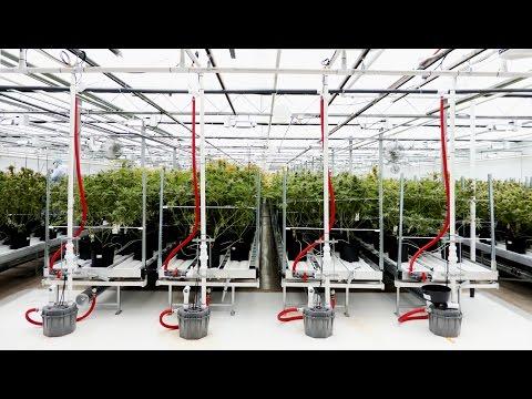 Medical marijuana: Dinafem at 7Acres facilities in Canada. Critical+, Blue Widow and White Widow