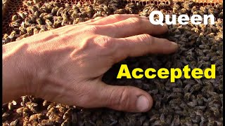 How bees behave when they accept the new queen bee. Releasing new queen. thumbnail