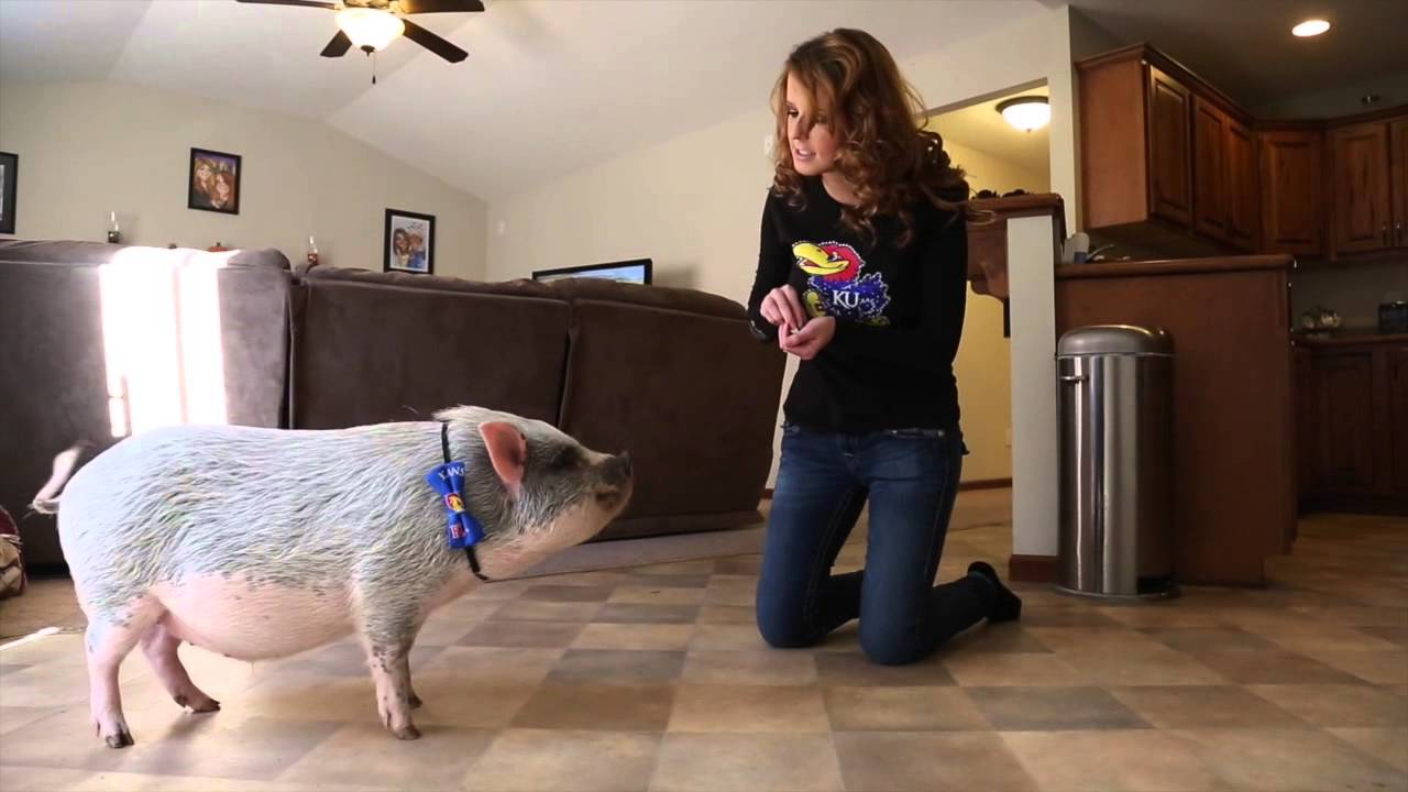 Lawrence couple adopts potbelly pig as a pet - YouTube