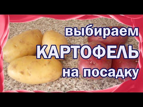 Семенной картофель. Выбираем картофель на посадку. Мой опыт.