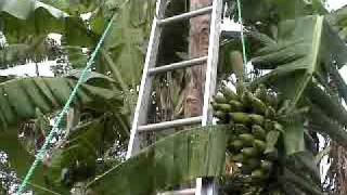 HARVESTING BANANAS (Home-Grown)