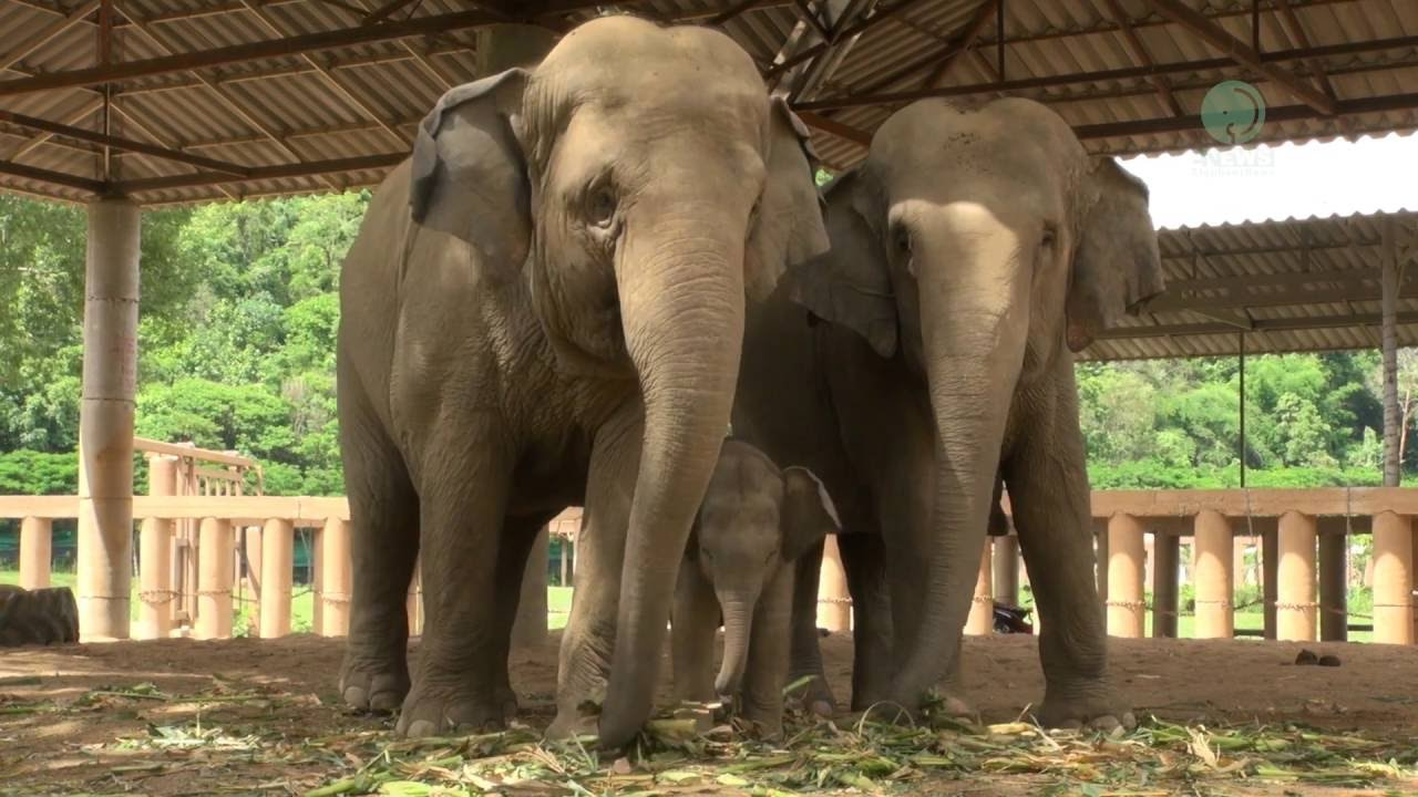 Download Baby elephant learn how to use his trunk - ElephantNews