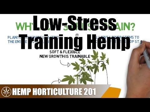 How To Low Stress Train (LST) Hemp