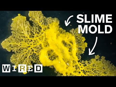 How This Blob Solves Mazes | WIRED