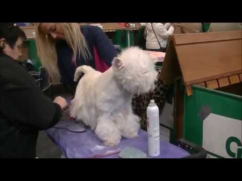 West highland white terrier BOB in Crufts dog show 2018