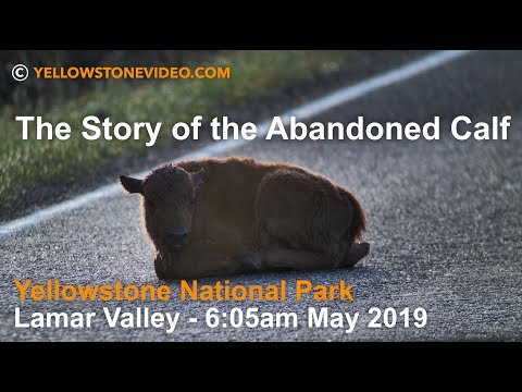 the-story-of-the-abandoned-bison-calf---may-2019---yellowstone-national-park