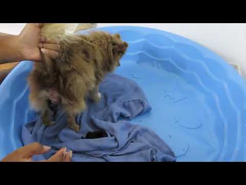 Pomeranian gives birth  breech