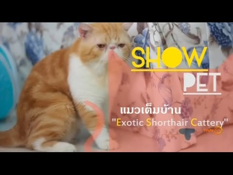 Pet Lover by Jer High : Exotic Shorthair Cattery