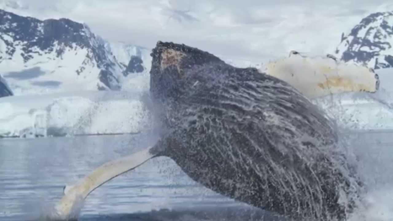 【動画】クジラとシャチ/南極クルーズ