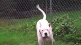 Dogo Argentino 16months has a food allergy.Medicated Oatmeal Dog Sh...