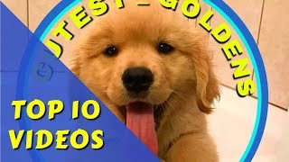 200K SPECIAL - Cutest Goldens TOP 10 VIDEOS -