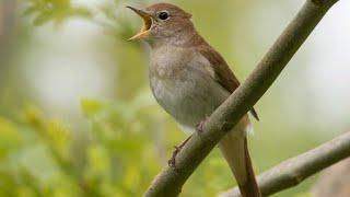 Gambar cover kicauan terbaik common nightingale