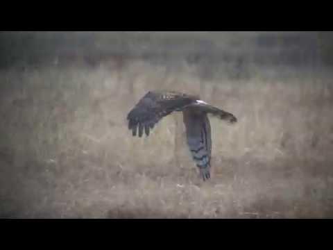 ハイイロチュウヒ(1)冬鳥(渡良瀬遊水地) - Hen