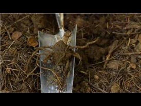 Transplanting & Maintaining Garden Perennials : How to Transplant a Trillium Ovatum