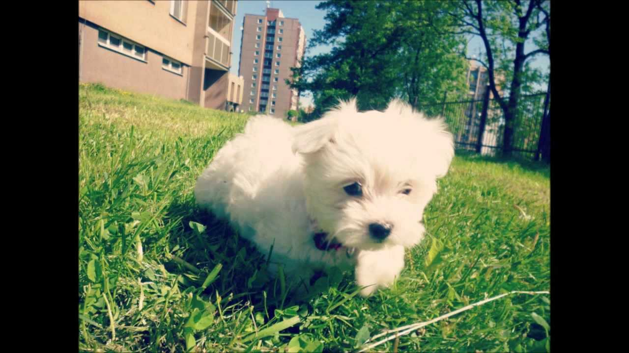 Maltese puppy / 6 week...