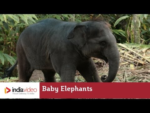 Baby elephants get the best parental care