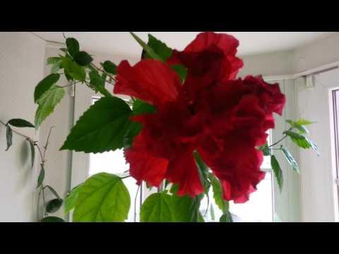 Махровая китайская роза. Hibiscus rosa-sinensis