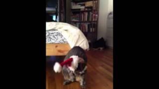 Chops the Cat in a Santa Hat