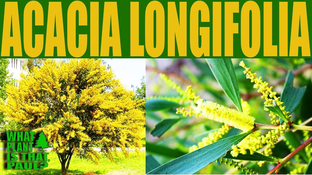 Acacia Longifolia Golden Wattle A Fast Growing Bushy Shrub Or