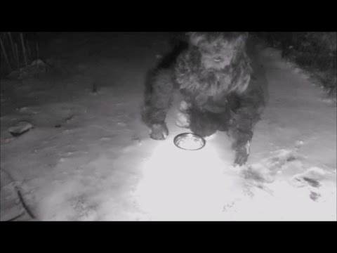 Bigfoot attracted by cat food caught on Security Camera goes ballistic