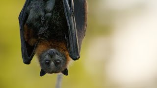 Fruit-loving Flying Foxes   Animals with Cameras 2   BBC Earth