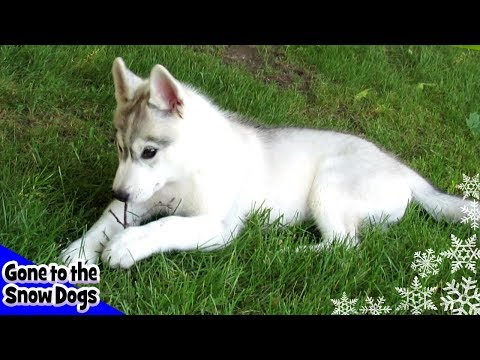 Cute Husky Puppies | National Puppy Day | Shelby & Memphis as Puppies