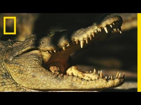Birds Vs. Crocodiles   National Geographic