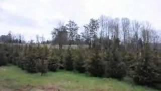 5 to 6 ft  Leyland Cypress Trees
