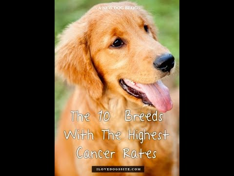Top 10 Dog Breeds Most Prone to Cancer