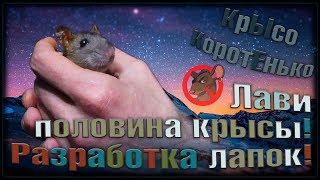 (О) Крысёнок Лави. Половина крысы. Разрабатываем лапки, и бежим, бежит, бежим... (Wild Rats)