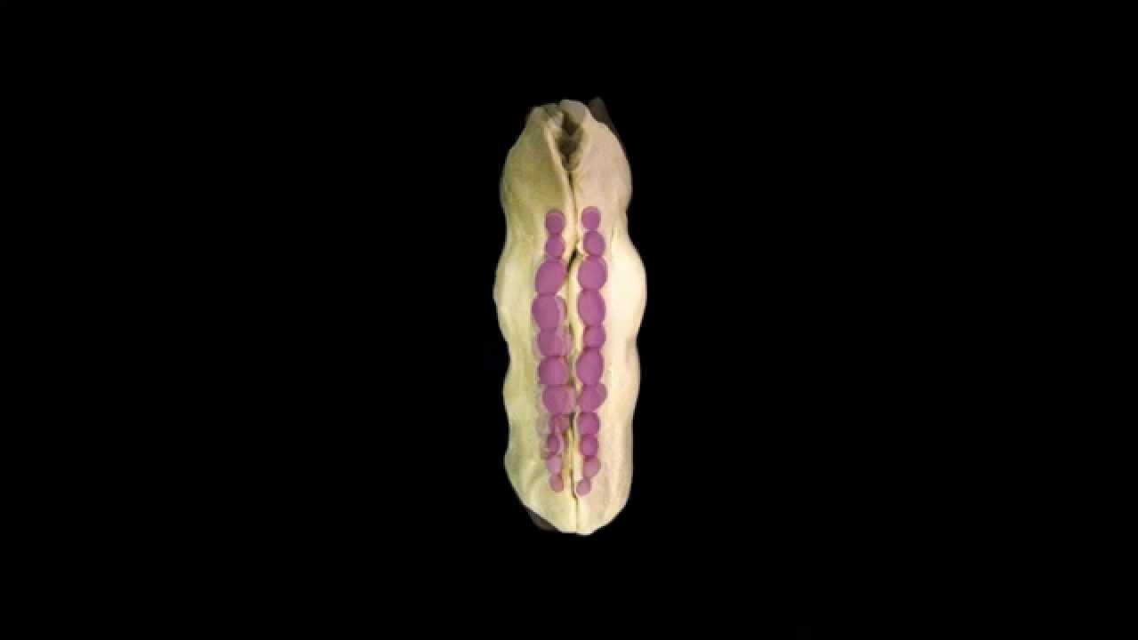 formación del tubo neural - YouTube
