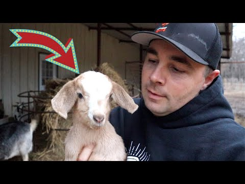 Baby Goats Are Here! Birth Caught on VIDEO!
