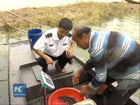 Wild Chinese sturgeon found in east China