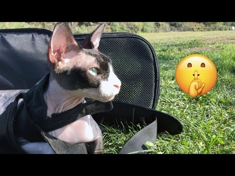 Taking My Sphynx Cat To The Park