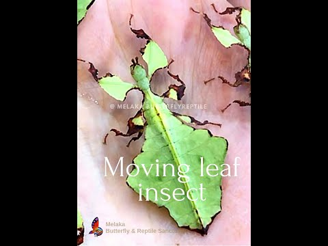 Moving Leaf Insect #ButterflyReptile