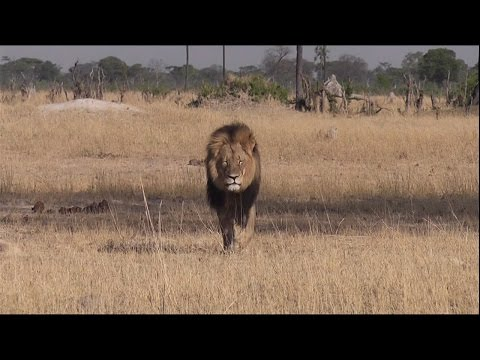 Cecil the lion is 'irreplaceable'