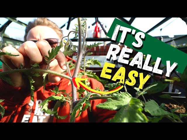 Pruning tomato plants and identifying suckers