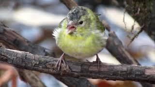 ловля птиц путанкой ОС сетью Чижи Снегири